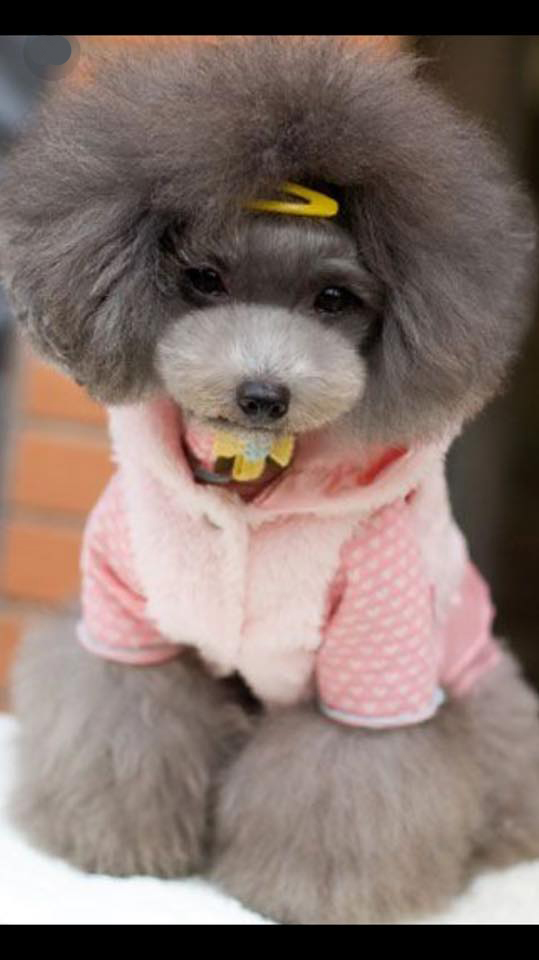 Poodle Puppies In Georgia Abounding Poodles Akc Champion Toy