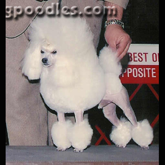 Poodle Puppies In Alabama Abounding Poodles Akc Champion