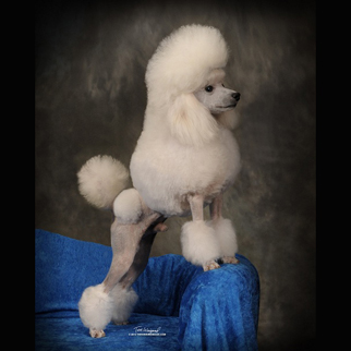 Poodle Puppies in Alabama, Abounding Poodles AKC Champion