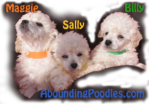 Poodle Puppies Texas Abounding Poodles Akc Champion Toy